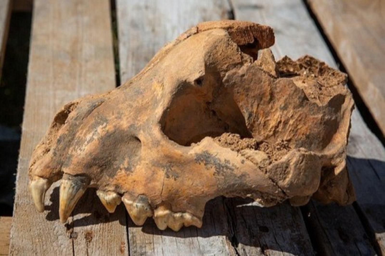 乌拉尔联邦大学研究员在克里米亚发现巨型古鬣狗头骨插图-小狮座俄罗斯留学